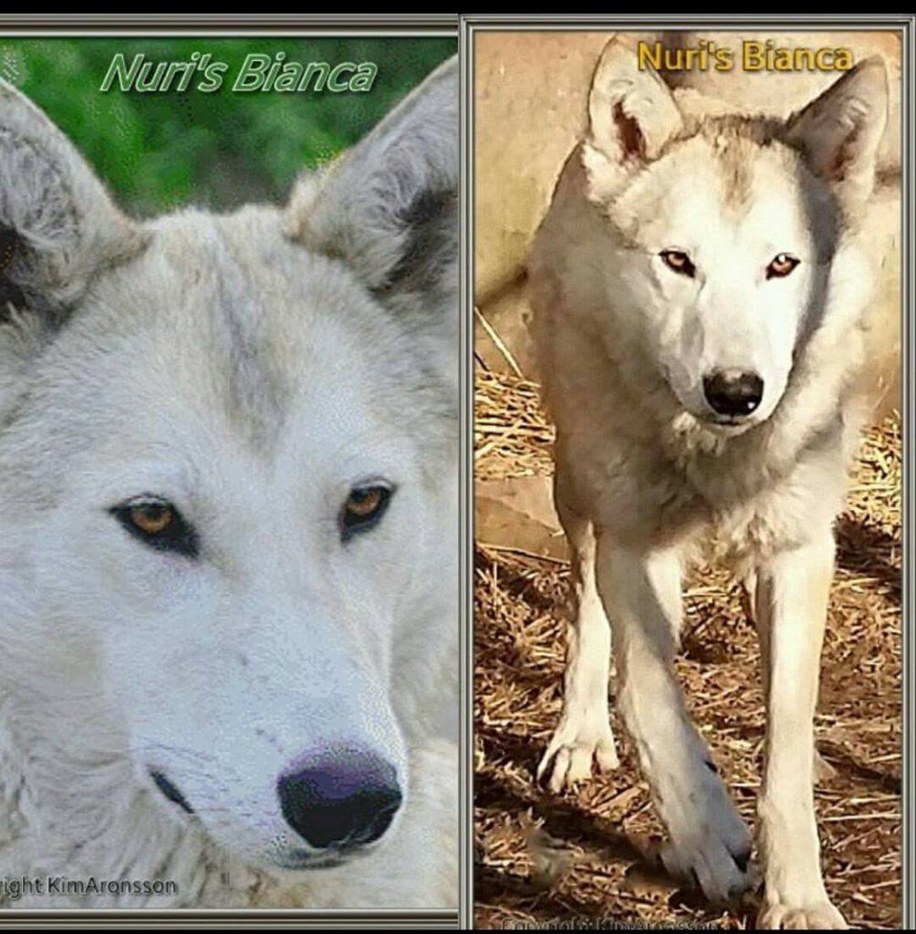 Nuris Bianca Amerikanischer Wolfshund