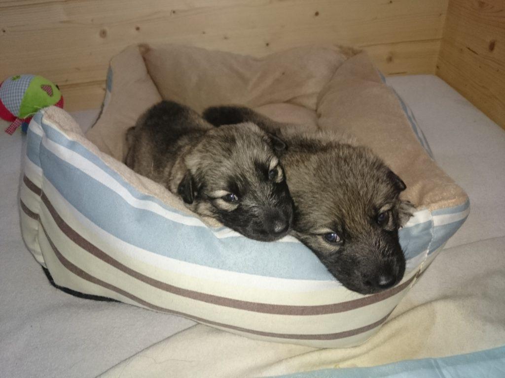Sylvan Companion Dog Wolfshund