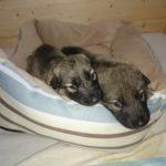 Wolfhund Welpe Sylvan Companion Dog