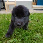 Wolfhund Welpe Sylvan Spirit