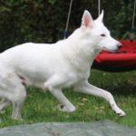 Arnstorps AWD Shiva American Wolfdog