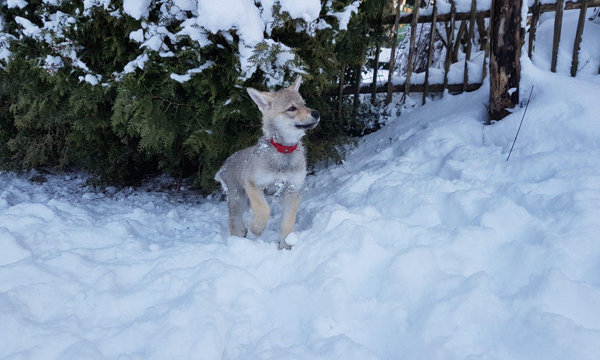 Nya von NiRo bei Sylvan Companion Dog