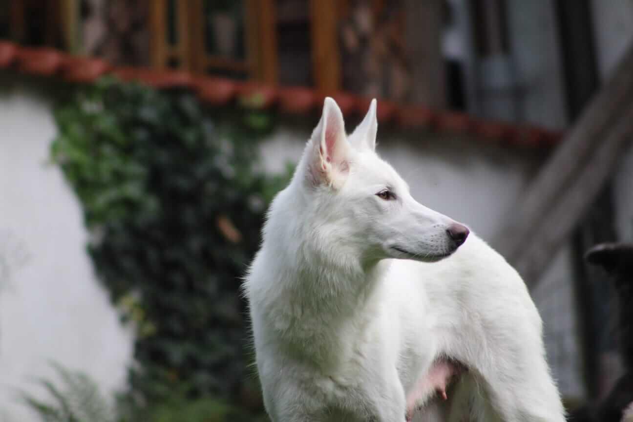 Projekt Sylvan Companion Dog Shiva