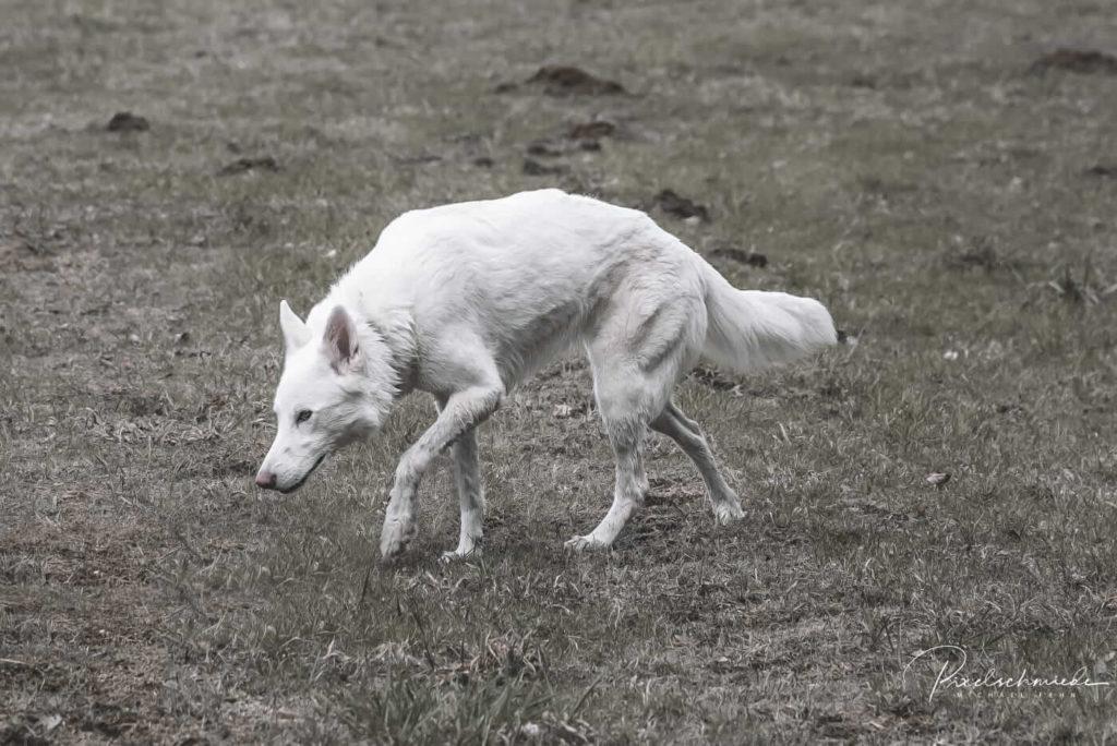 Sylvan Companion Dog