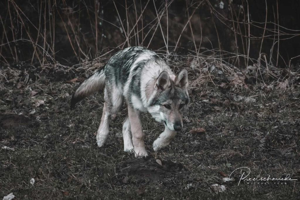 Sylvan Companion Dog/NiRo Wolfdog